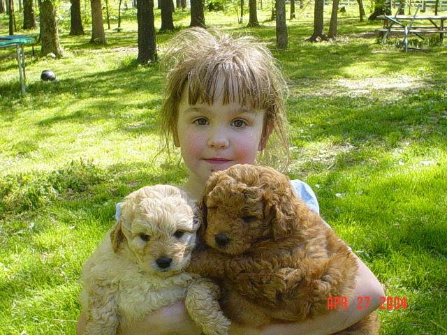 goldendoodle puppy pictures. 2011 goldendoodle puppy cut.