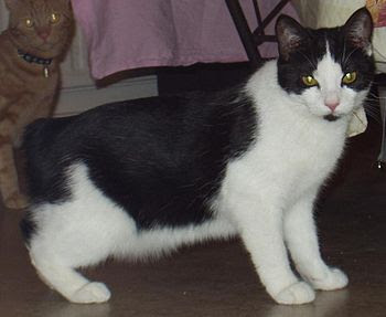 English: This cat was named Minus as a nicknam...