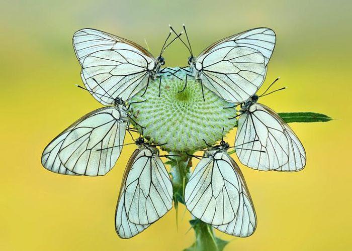 Mariposas Diurnas Tipos Características Clasificación Y Hábitat
