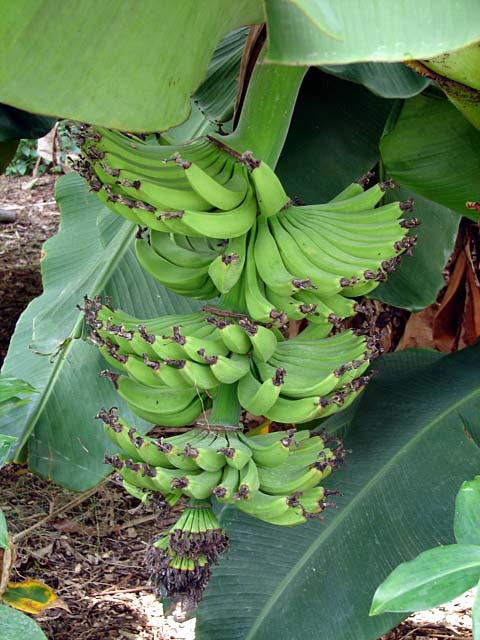 Banana Tree Banana Fruit Musa Species Ornamental Banana Plants