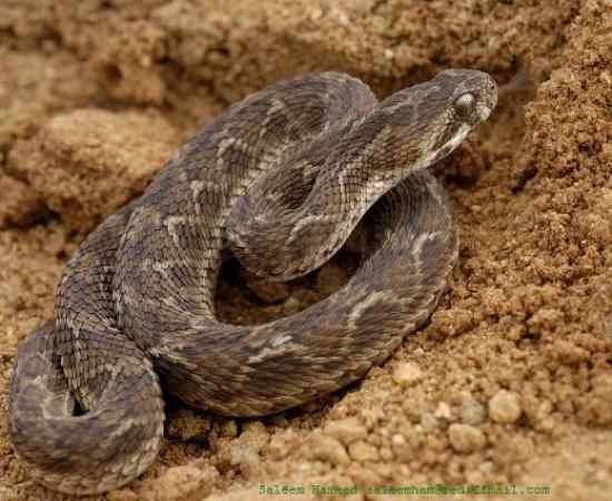 saw-scaled-viper-reef-lodge-townsville-backpakers