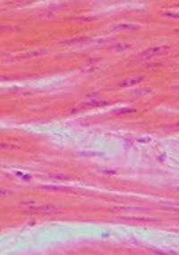Cientistas desenvolveram os principais tipos de músculos lisos, que formam o sistema circulatório