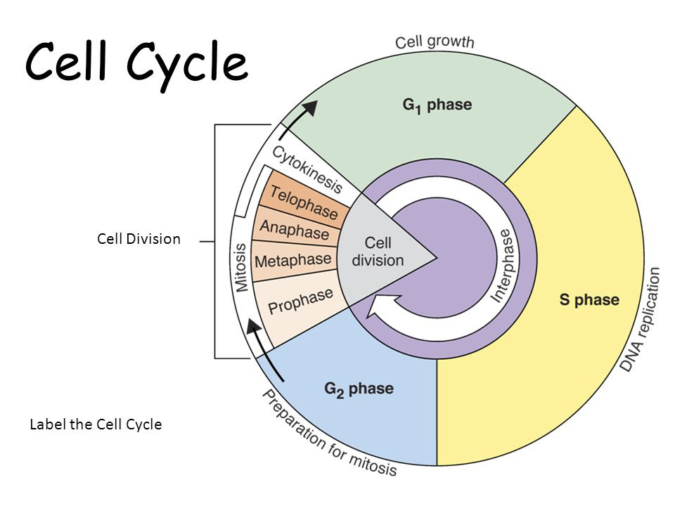 Cell Cycle - Biology