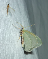 moth and mayfly