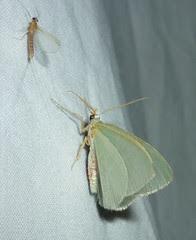 moth and mayfly