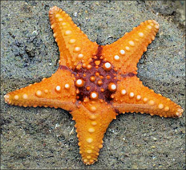 Sea Anemone Sea Urchins And Starfish Facts And Details