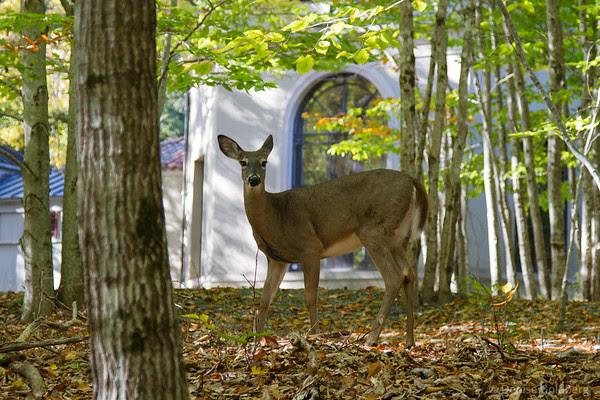 a deer, looking at me looking at him