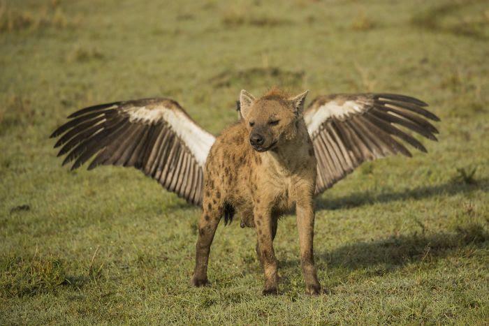 Hyène volante