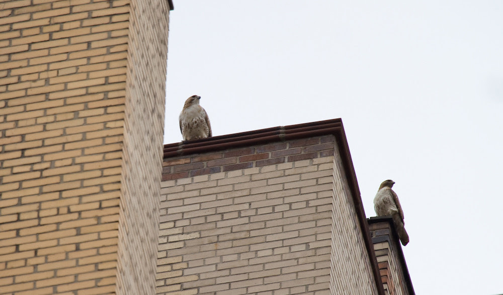 Normandy Hawks