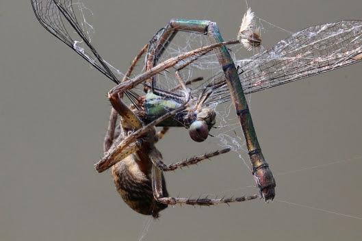 Weidenjungfer im Spinnennetz