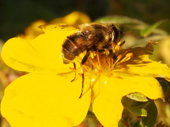 Olympus OM-D E-M5 Bee Macro Shot