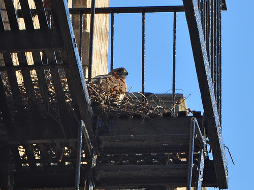 Washington Heights Hawk Nest