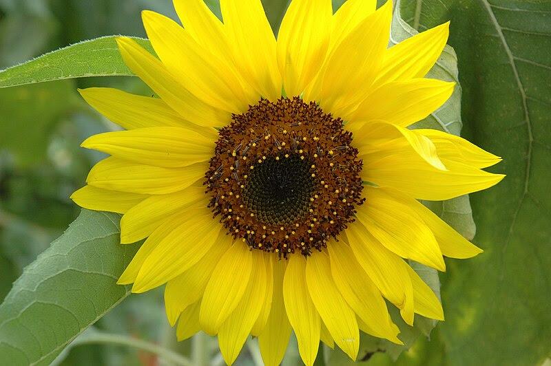 File:Sunflower head.jpg
