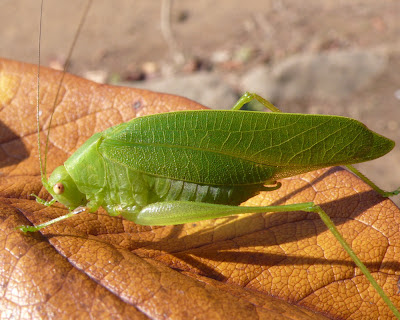 Green leaf shaped insect close up shot on brown leaf