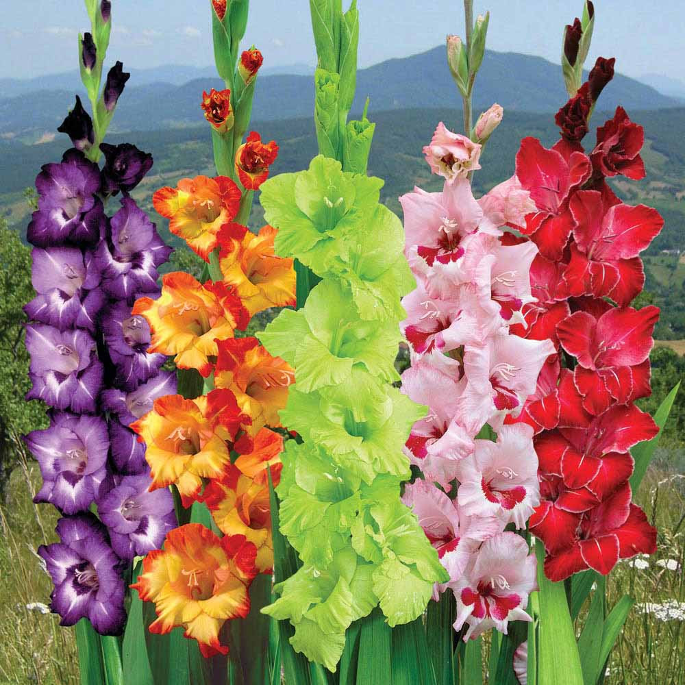 Gladiolus The August Flower City Blossoms