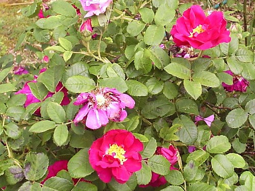 Apothecary's Rose2