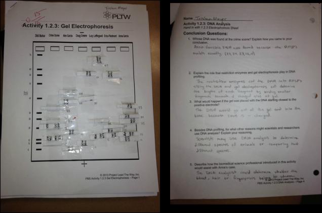 Gel Electrophoresis Virtual Lab Worksheet - Worksheet List