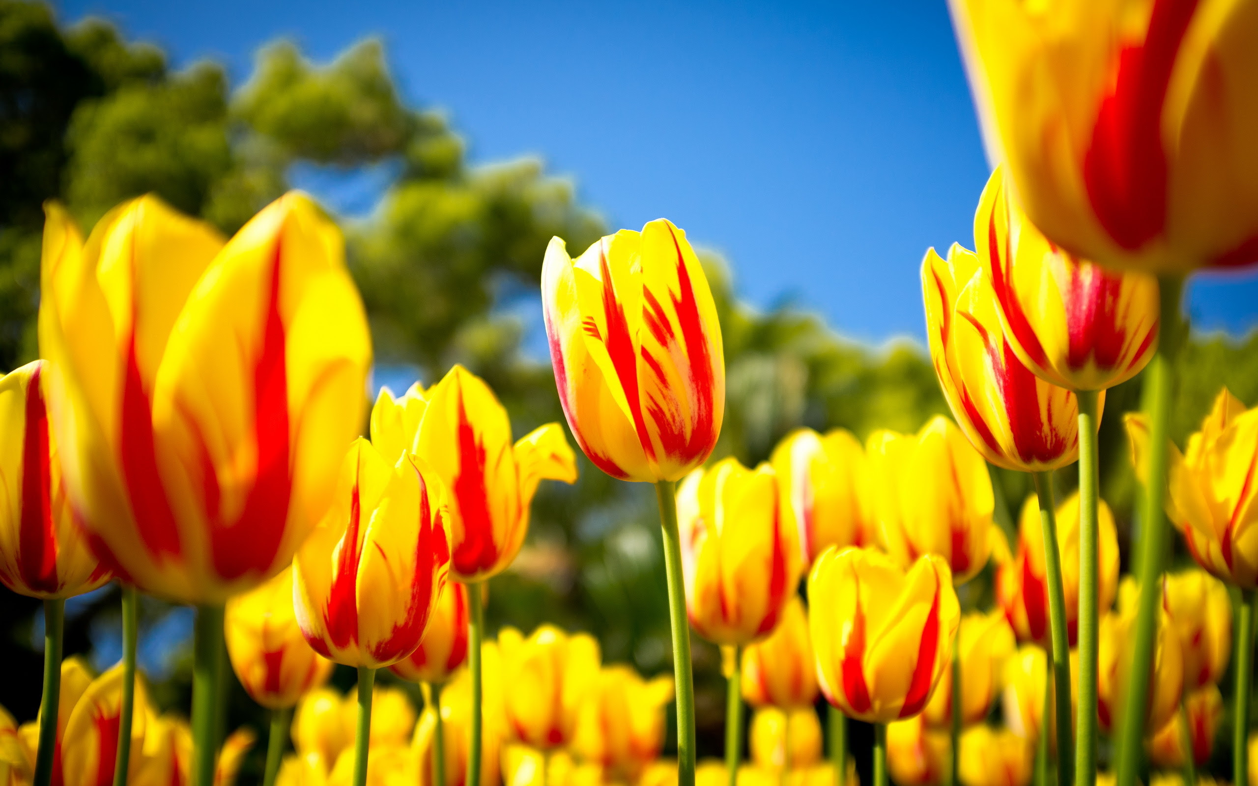 Colors Images Lovely Yellow Tulip Wallpaper Hd Wallpaper And