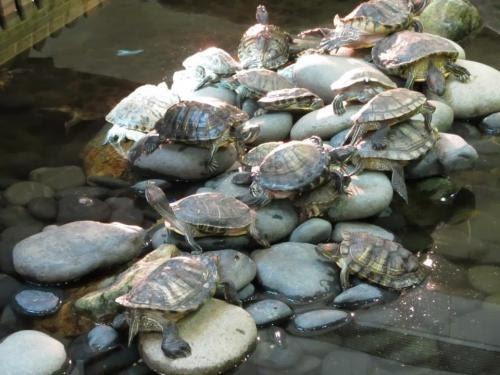 新都城拯救龜行動