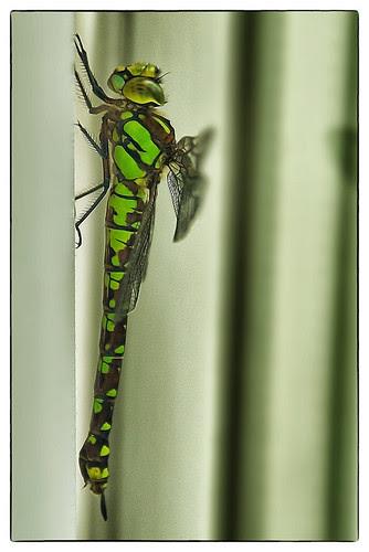 Libelle zu Besuch