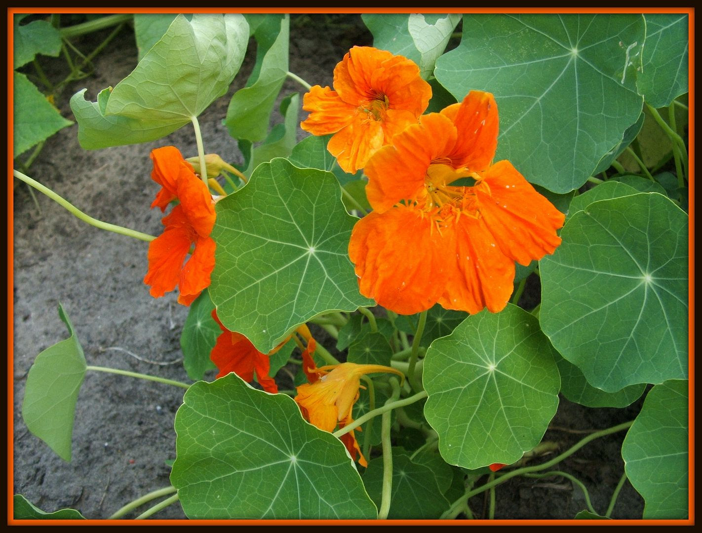 Nasturtiums by Angie Ouellette-Tower for godsgrowinggarden.com photo 018_zpsa1e2e894.jpg