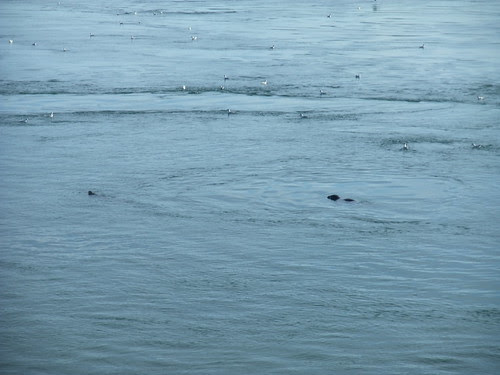 seals Deer Island