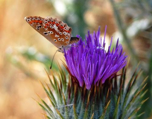 mariposita sobre flor de cardo Henares DSC_0031