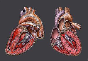 Heart, Herz, Coeur, Anatomic Design