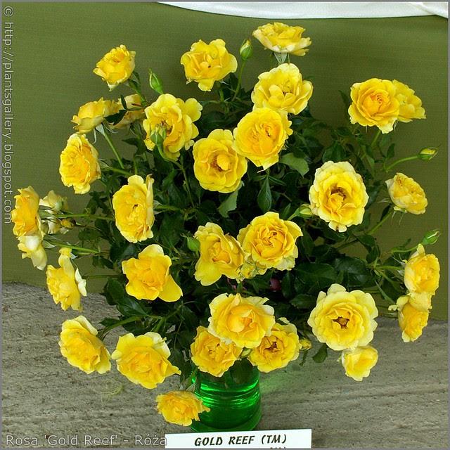 Rosa 'Gold Reef' - Róża