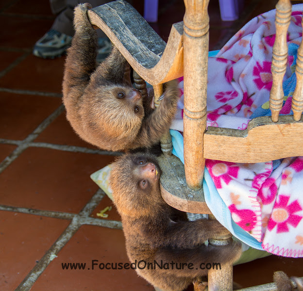 Two-toed Sloth Babies (Rescued)