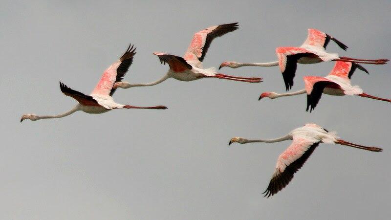 File:Greater Flamingoes (Phoenicopterus roseus) in flight W IMG  0081.jpg