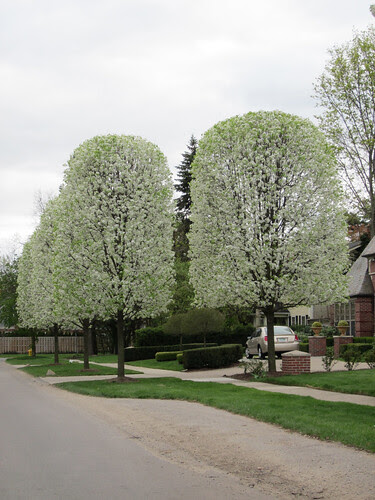 manicured pear trees