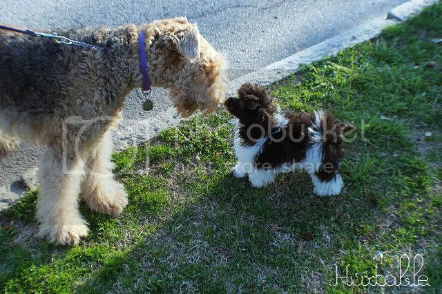 Poodle & Airedale Terrier