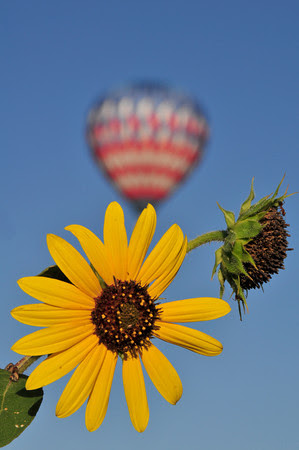 Sunflowers and balloons!