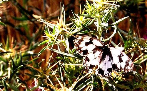 mariposa rio Henares III DSC_0022