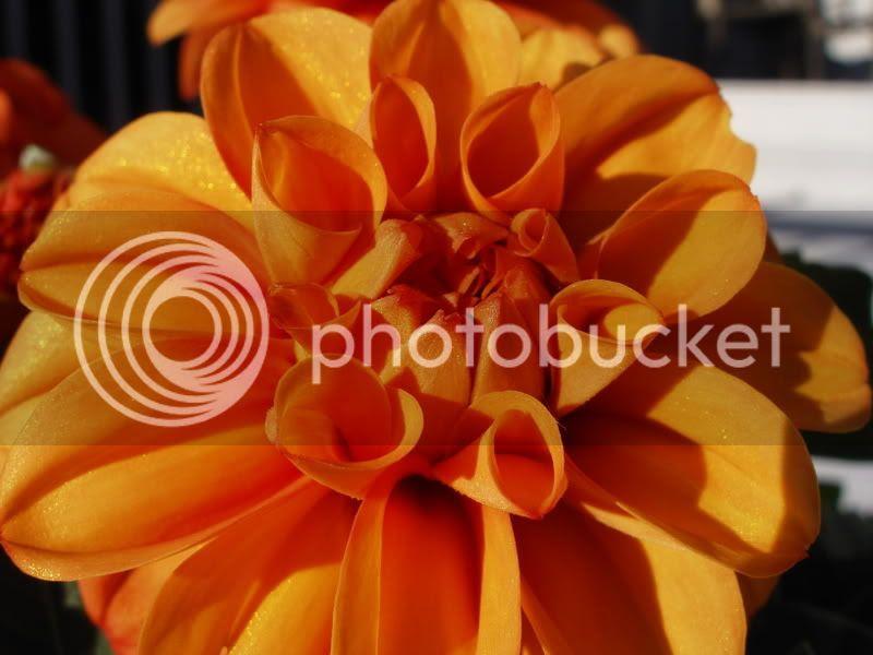 dahlia.jpg Dahlia image by cheddarchick