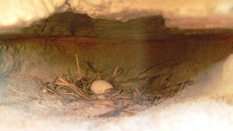 File:Riparia riparia-nest.jpg