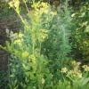 Растущие на участке пряноароматические травы, тоже вносят свой вклад: мята, котовник, любисток, душица, эстрагон, тимьян ползучий.