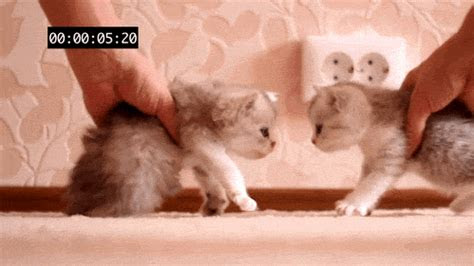 gambar animasi bergerak kucing lucu gif browsing gambar