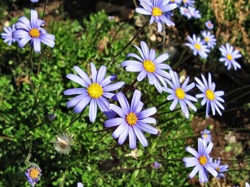 20100407-rq-santacatarina-08-Felicia amelloides
