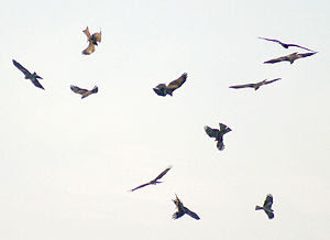 English: Black Kite Milvus migrans in Kolkata,...