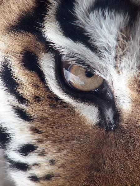 http://upload.wikimedia.org/wikipedia/commons/thumb/2/25/Amur_Tiger_Panthera_tigris_altaica_Eye_2112px_edit.jpg/450px-Amur_Tiger_Panthera_tigris_altaica_Eye_2112px_edit.jpg