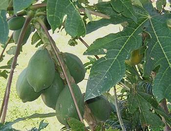 A large papaya plant growing in Florida