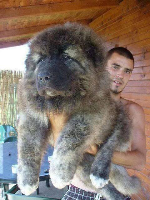Σκυλος σε μεγεθος... αρκουδας