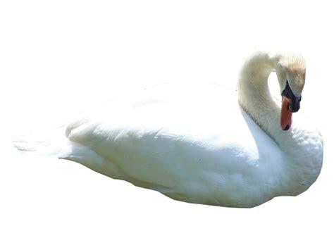 swan png transparent images png