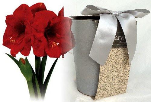 Stylish Silver Ceramic Vase with Premium Large Red Lion Amaryllis Bulb