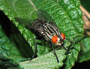 A blow fly (Sarcophaga sp)