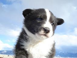 Five Week Old Karelian Bear Dog puppy