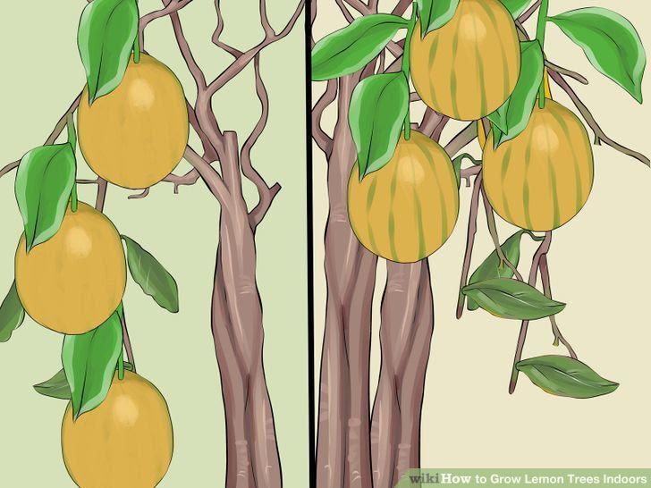 Grow Lemon Trees Indoors Step 1 Version 2.jpg