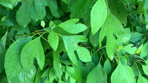 sassafras leaves 2